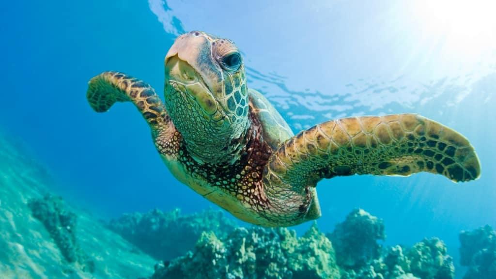 Photo made by: https://gilisharkconservation.com/turtle-conservation-gili-islands/